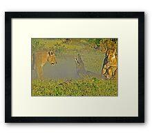 Lion -crocodile interaction 3 Framed Print