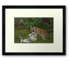 playful tigers  Framed Print