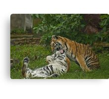 playful tigers  Canvas Print