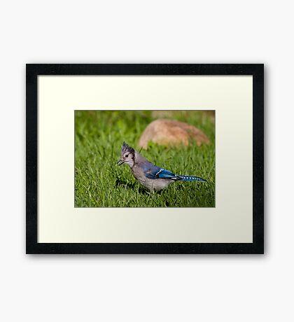 Blue on da hunt Framed Print