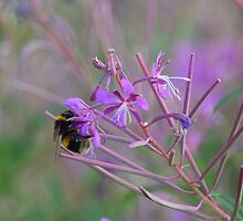 Bumble Bee on pink Flowers by InterestingImag