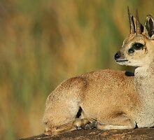 Klipspringer Buck by naturalnomad