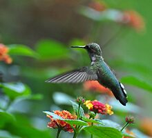 Hummingbird over lantana by mltrue