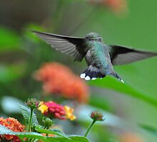 hummingbird over lantana 2 by mltrue