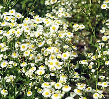 Dense thickets of small white daisies in a meadow by vladromensky