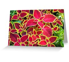 Red Coleus plants closeup Greeting Card