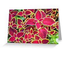 Red Coleus plants closeup on a flower bed Greeting Card