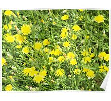 Thickets of small yellow flowers Picris Rigida at forest lawn Poster