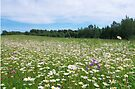 Daisies Meadow by Martins Blumbergs