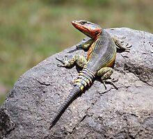 Rainbow Lizards Rock by Joyce Clarke