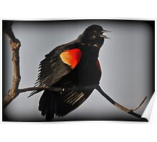 Red-Winged Blackbird Song Poster