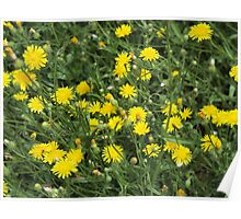 Thickets of small yellow flowers Picris Rigida Poster
