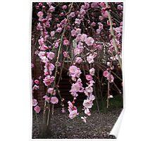 Cherry Blosssom Poster