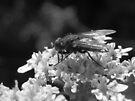 black and white fly flower by millymuso