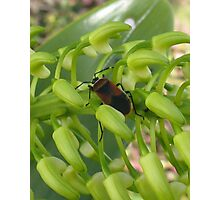 Beetle on Australian Native Orchid Buds Photographic Print