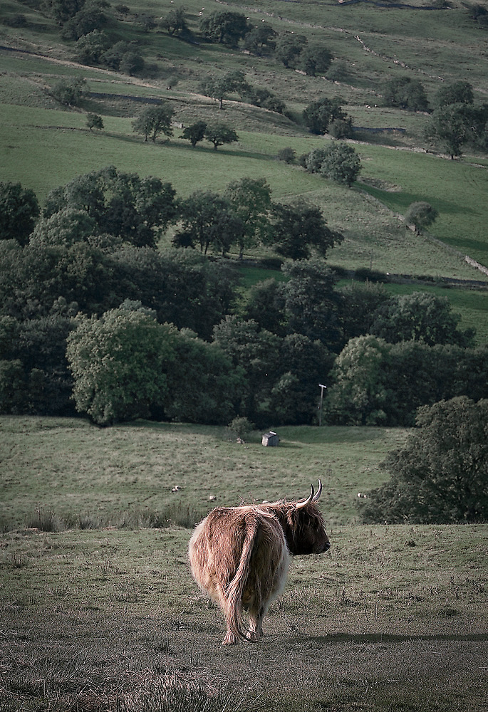 highland cattle by Dave Milnes