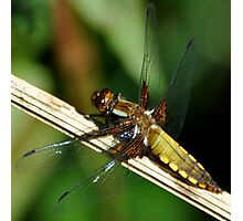 Broad-bodied chaser female Photographic Print