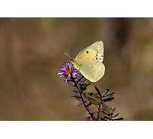 Clouded Sulfur Butterfly Photographic Print