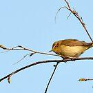 Chiffchaff - Phylloscopus collybita by Chris Monks