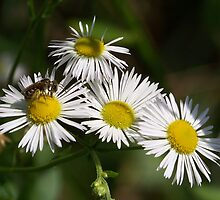 White aster and a little visiting bee.  by William Brennan