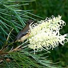 Eastern Spinebill & Grevillea Moonlight by Trish Meyer