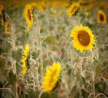 Spanish sunflowers - Route III by OlurProd