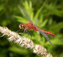A Ruby Meadowhawk dragonfly. by William Brennan