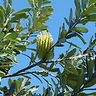 Coast Banksia by Trish Meyer
