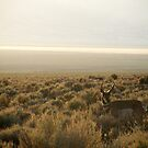 Pronghorn Antelope by elasita