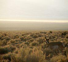 Pronghorn Antelope by elasita