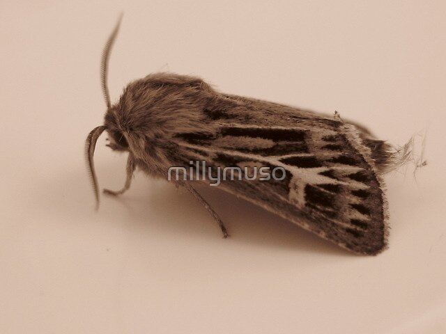 moth in sepia2 by millymuso