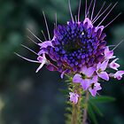 Rocky Mountain Bee Plant  by elasita