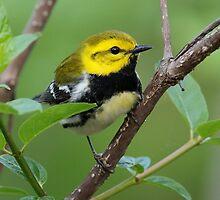 Black-throated Green Warbler by William C. Gladish