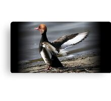 The Red Crested Pochard  Canvas Print