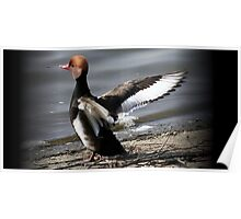 The Red Crested Pochard  Poster