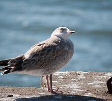 fanatic seagull by Antonio Paliotta