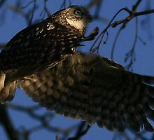 Flight Of The Little Owl - None Captive by snapdecisions