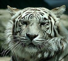 face of the white tiger by wolf6249107