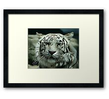 face of the white tiger Framed Print