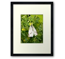 A delicate cabbage white butterfly. Framed Print