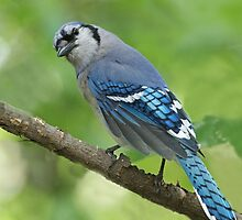 Blue Jay by William C. Gladish
