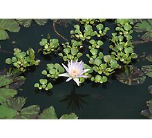 white lillypad Photographic Print