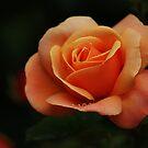 Orange Rose with Raindrops by shane22