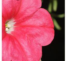 Pink Petunia - Iridescent Petals Photographic Print