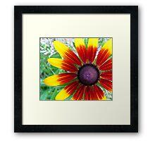"Blackeyed Susan - ""Becky Cinnamon Bi-color"" variety Framed Print"