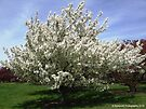 Blooming White Crabapple Tree  by Barberelli