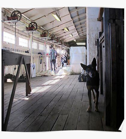 The Sheep Dog - Australian Working Kelpie Poster