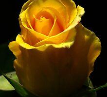 Yellow Rose, macro by BigAndRed