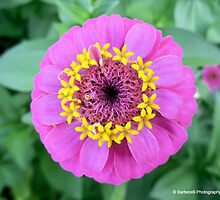 Lilliput Mix - Zinnia 1 by Barberelli