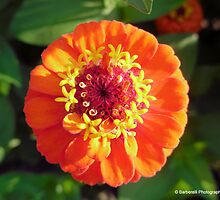 Lilliput Mix - Zinnia 3 by Barberelli
